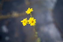 YELLOW-FLOWER-S-1